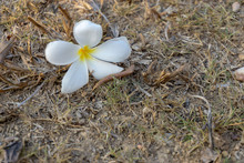 Frangipani Flower In Garden