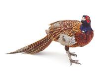 One Big Pheasant.