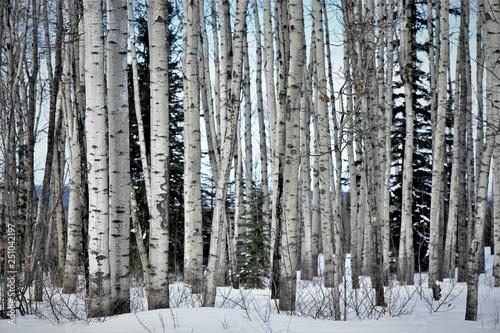 Canvas Prints Birch Grove Poplar Forest
