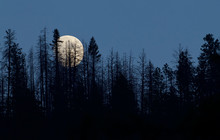 Moon Rises Over The Treetops In The Pacific Northwest Forest Near The U.S. / Canada Border