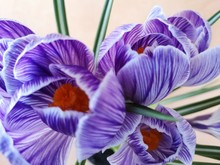 Close-up: Purple And White Crocus Flowers And Buds, Green Leaves Covered With Water Drops. Dew Runs Down The Petals.