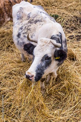 Fotografie, Obraz  Black and white cow eating dried grass on Sardinia island, Italy