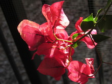 Beautiful Pink Red Bougainvill...