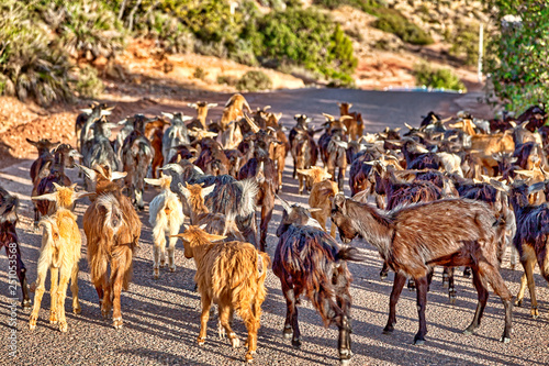 Herd of goats in the mountains of Morocco near Agadir, an African country on the Atlantic Ocean