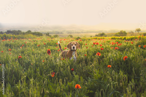 Fotografía  Beagle dog on a meadow of wildflowers and poppies.