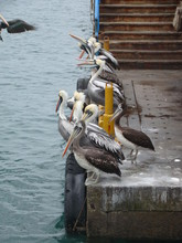 Pelicans Resting At Harbour Near Beach