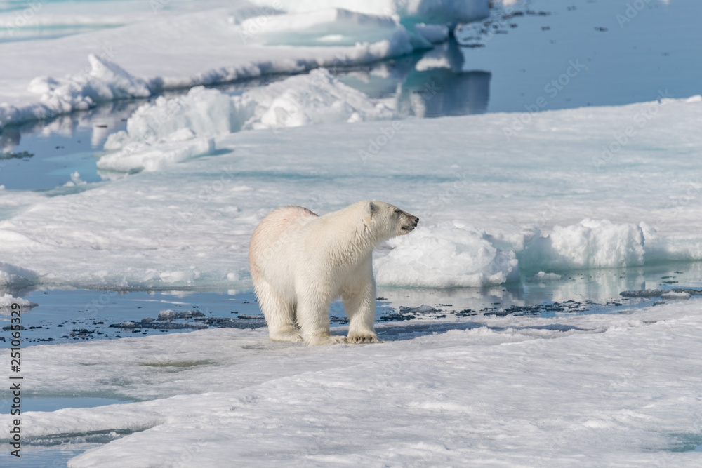 Wet polar bear going on pack ice in Arctic sea
