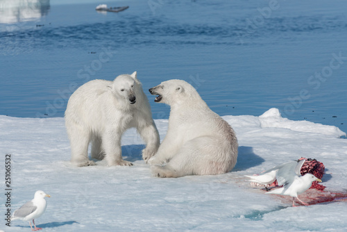 Wall Murals Polar bear Two young wild polar bear cubs playing on pack ice in Arctic sea, north of Svalbard