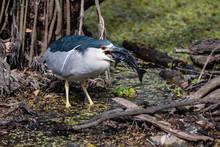 Black Crowned Night Heron Eating Fish