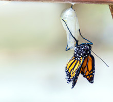 Monarch Butterfly Emerging From Chrysalis Cocoon