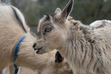 Baby Goat Eating Hay