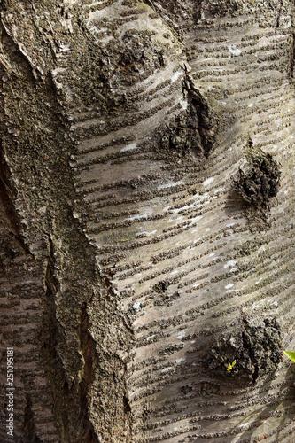 Fotografie, Obraz  桜の木の幹1