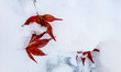 Leinwanddruck Bild - Red maple leaves on first winter white and clean snow