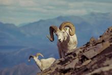 Dall Rams On Sable Mountain