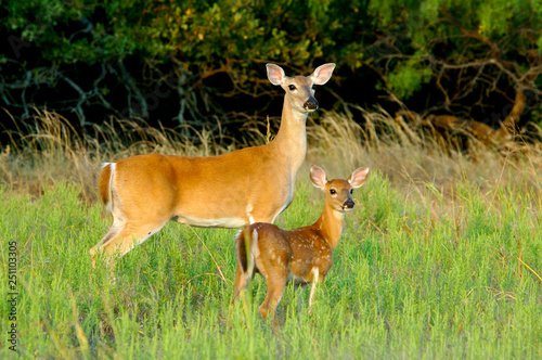 Photographie Whitetail Doe And Fawn