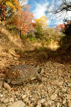 Ornate Box Turtle And Texas Au...
