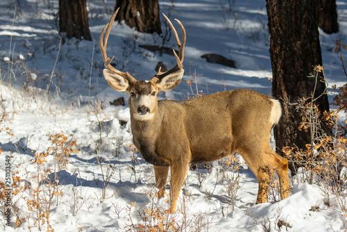 Fotografie, Obraz  Mule Deer Buck In Snow