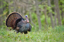 Eastern Wild Turkey Strutting ...