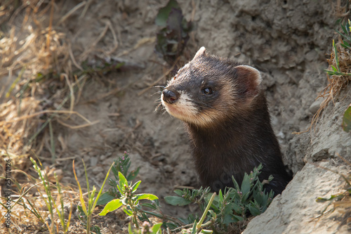 Fotografia, Obraz A close up of the head of a polecat as it emerges from it burrow in the bank