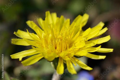 Fotografie, Obraz  セイヨウタンポポが咲きました。