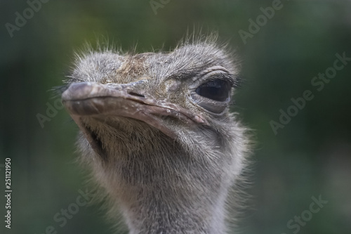 Wall Murals Ostrich The head of an ostrich