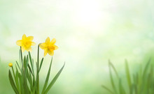 Nature Spring Background With Yellow Daffodil Flowers