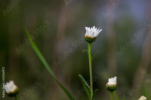Fotografie, Obraz  Blooming daisy flower in a meadow