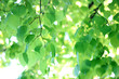 background of fresh green Linden branches, selective focus. blurred natural backdrop.
