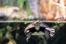 Turtle Breathing In A River