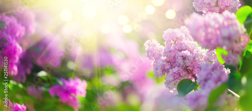 Obraz Lilac spring flowers bunch violet art design background. Blooming violet lilac flowers in a garden - fototapety do salonu