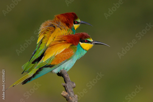 фотография European Bee eater - Merops Apiaster - Abelharuco - bird