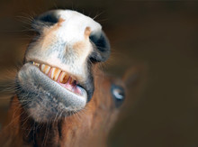 Funny Horse Portrait. Grimace, Grinning Horse Mouth And Teeth, Close-up
