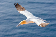 Northern Gannet (Sula Bassana), Beautiful Flying Sea Bird With Water In The Background, Helgoland Island, Germany