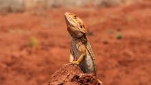 Australian Iguana Taking A Sunbath