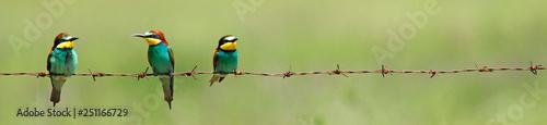 Fotografía  Bienenfresser (Merops apiaster) - European bee-eater