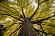 Leinwanddruck Bild - beautiful Elm tree from beneath