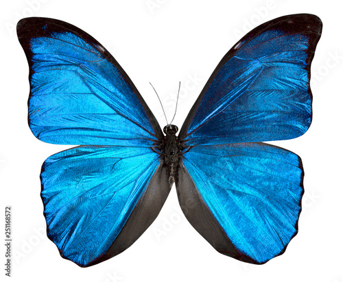 Obraz na plátně  Butterfly Morpho anaxibia isolated on white background