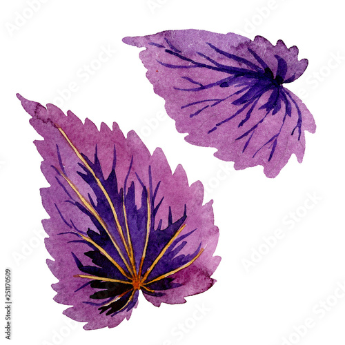 Papiers peints Pansies Begonia purple leaves. Watercolor background illustration set. Isolated begonia illustration element.