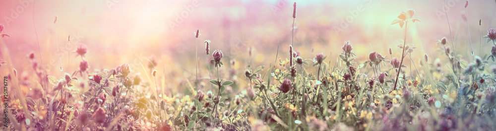 Fototapety, obrazy: Selective and soft focus on flowering red clover, beautiful meadow, flowering meadow flowers