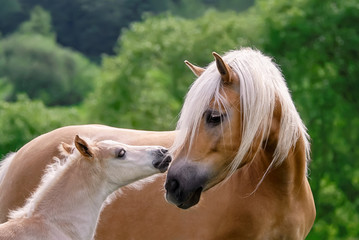 Haflinger horses mare with foal cuddling