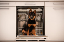 Portrait Of Bohemian Shepherd Puppy, 3 Months Old, Purebred, With Typical Marks, Having Fun In Kitchen. Young, Black And Brown Puppy Sitting On Opened Door Of Dishwasher. Dog Breed From Czechia.