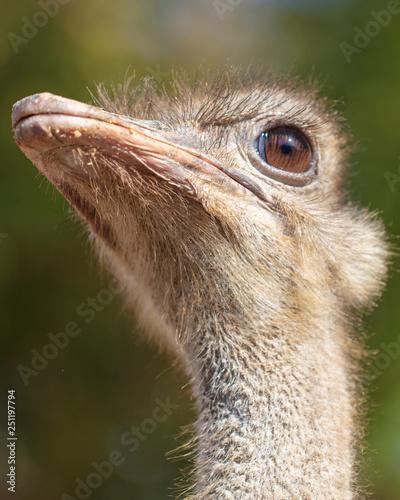 Wall Murals Ostrich Portrait of an ostrich in the park
