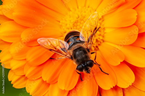 Tuinposter Bee Calendula officinalis, marigold in a herb garden in a sunlight with honey bee