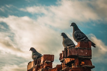 Three Pigeons On The Ruins Of A Brick Chimney