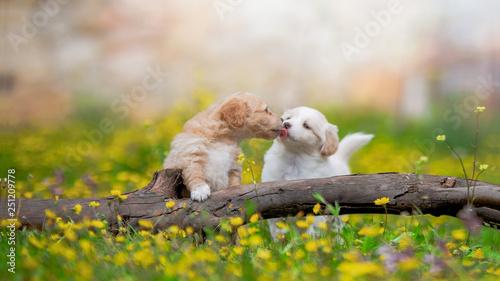Fotografie, Obraz  puppies kiss