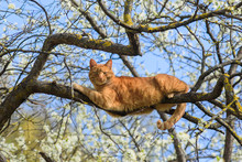 Beautiful Ginger Cat Sleeping ...