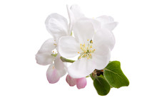 Apple Flower Isolated