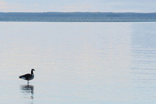 Canadian Goose Standing In The Water