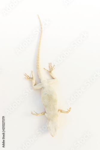 Photo  Lizard on white background