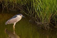 Black-crowned Night Heron, Nyc...